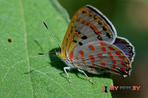 Hypochrysops ignita