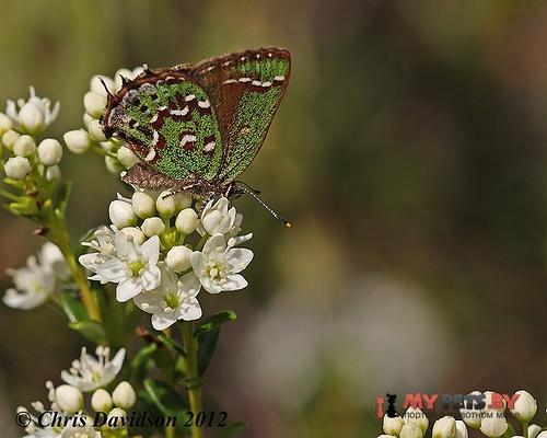 Callophrys hesseli