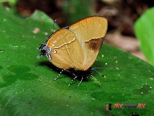 Calycopis calus