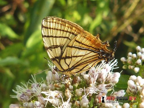 Arawacus meliboeus