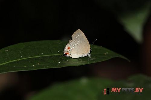 Strephonota tyriam