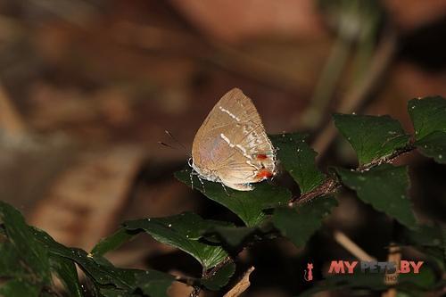 Strephonota porphyritis