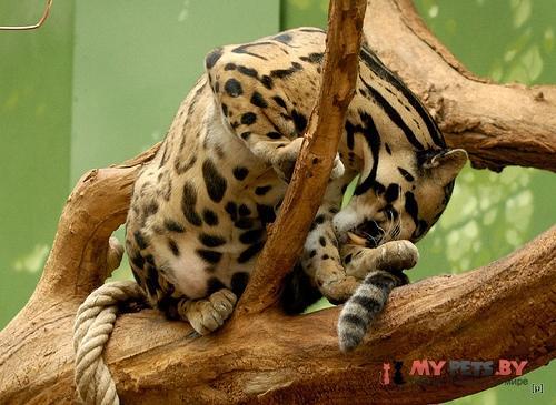 Калимантанский дымчатый леопард