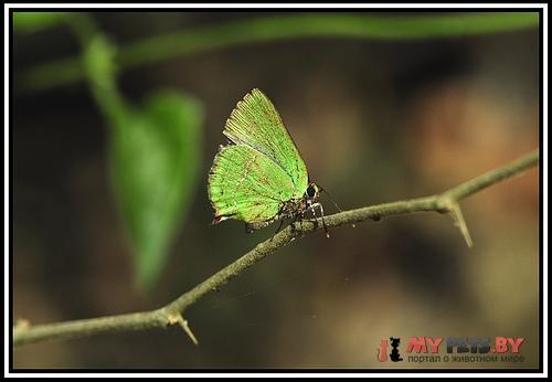 Cyanophrys acaste