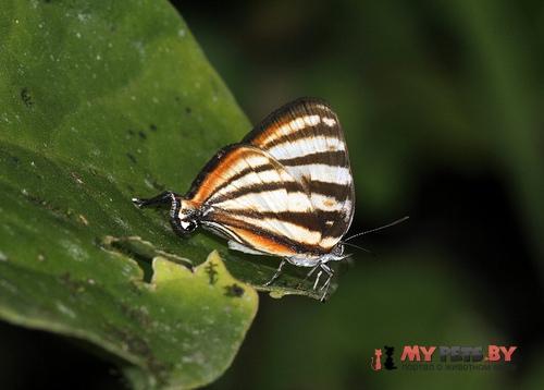 Arawacus separata