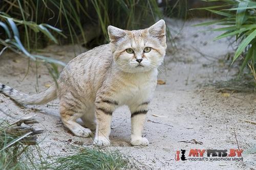 Felis margarita, Барханная кошка
