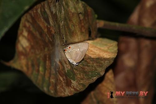 Strephonota malvania