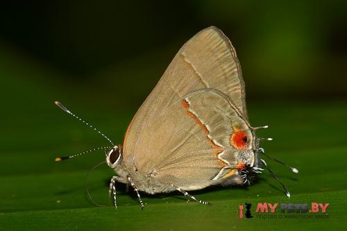 Ziegleria ceromia