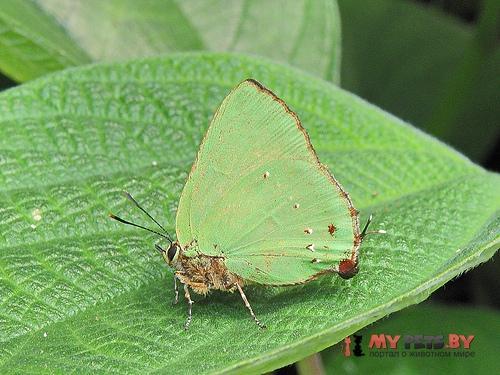 Cyanophrys longula