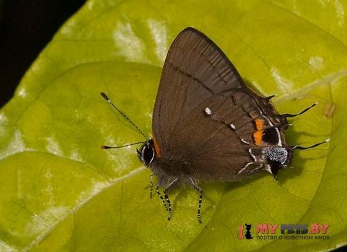 Electrostrymon angelia