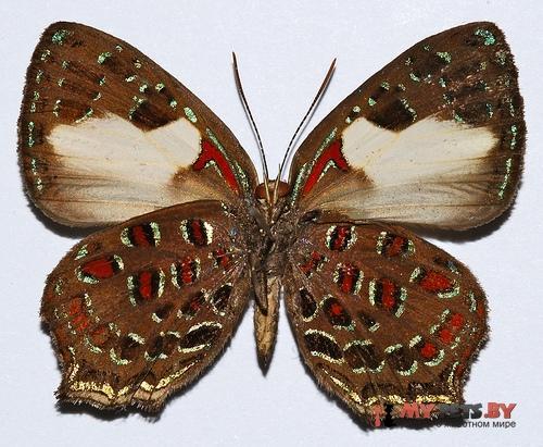 Hypochrysops polycletus