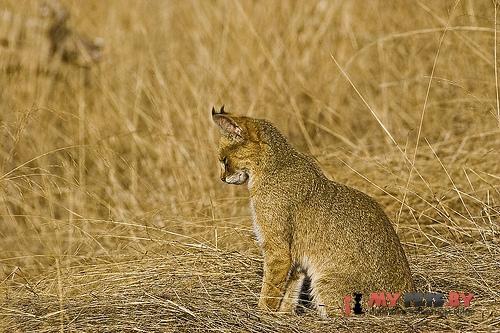 Felis chaus, Камышовый кот