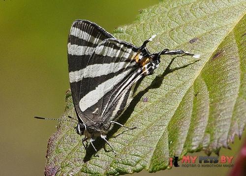 Laothus erybathis