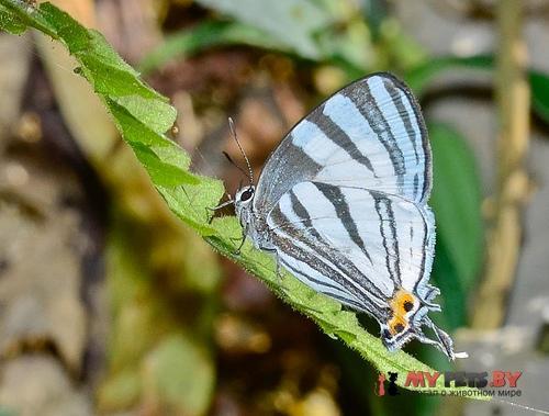 Laothus phydela