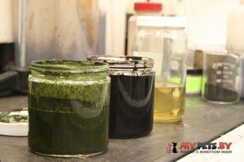 водоросли, нефть