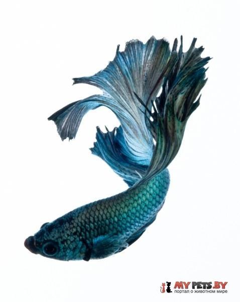 фотографии сиамских бойцовых рыб