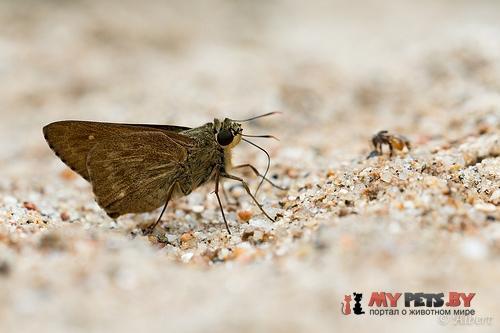 Pithauria stramineipennis