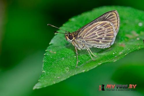 Callimormus interpunctata