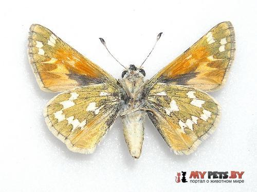 Hesperia colorado