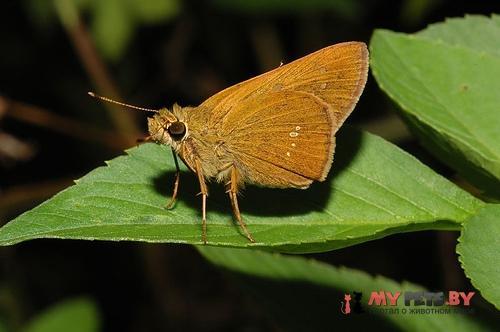 Polytremis lubricans