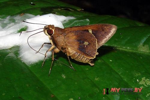 Carystoides hondura