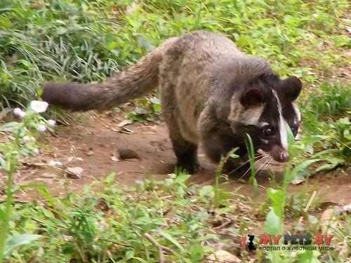 Masked palm civet