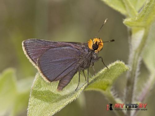 Amblyscirtes phylace
