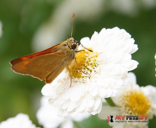 Hesperia assiniboia