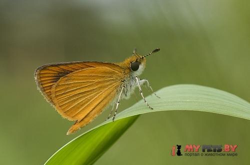 Ancyloxypha numitor