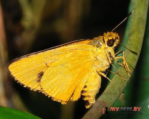 Cupitha purreea