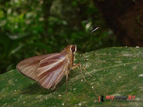 Carystoides cathaea