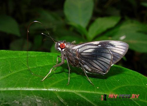 Carystus phorcus