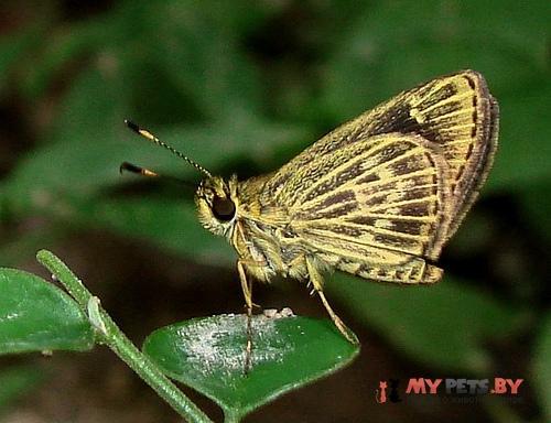 Callimormus juventus