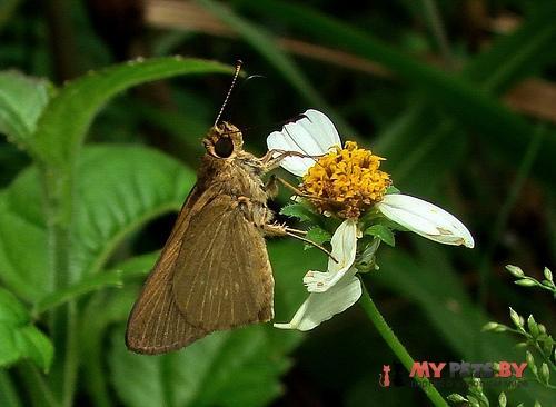 Cobalopsis miaba