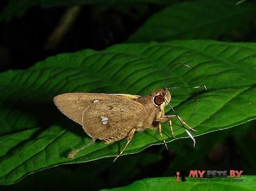 Carystoides maroma