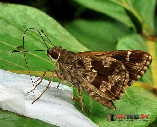Cobalopsis catocala