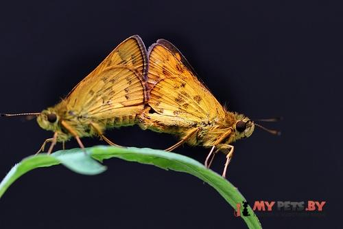 Potanthus pseudomaesa