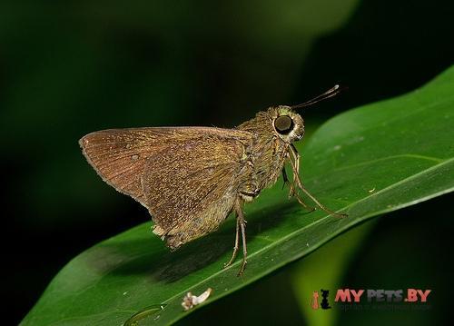Caltoris philippina
