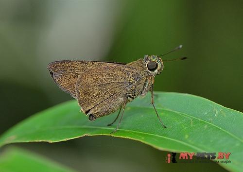 Caltoris malaya
