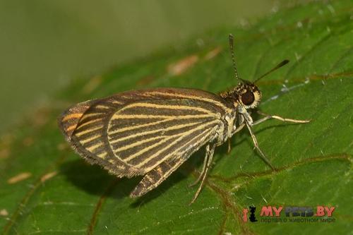 Apaustus gracilis