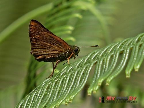 Choranthus borincona