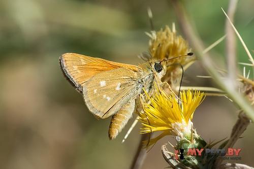 Hesperia columbia