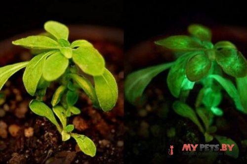 светящиеся растение