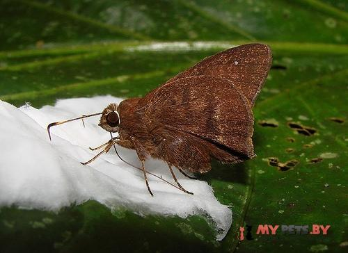 Lychnuchus brasta