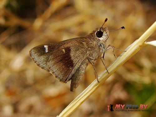 Lerodea arabus