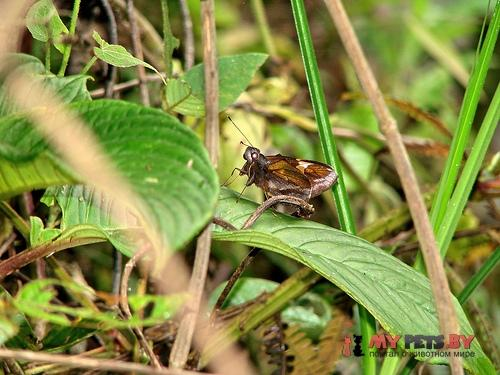 Lychnuchoides ozias