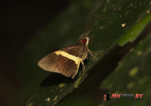 Lotongus avesta