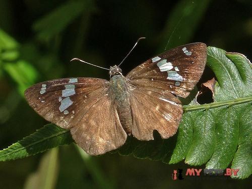 Celaenorrhinus songoensis
