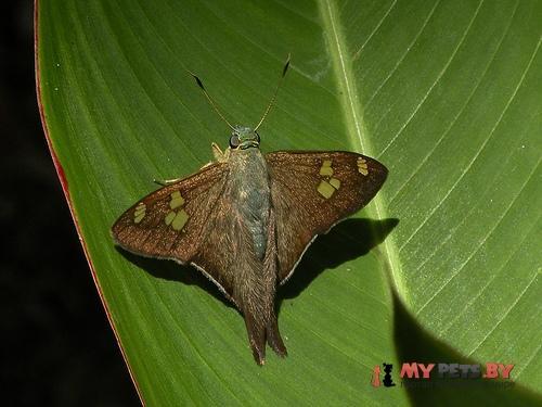 Polythrix caunus