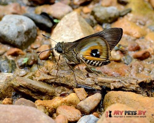 Tirynthoides lotana